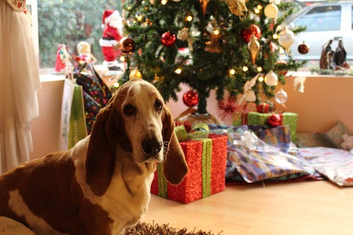 Bassett Hound Dog with Christmas tree